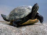 alasan-kura-kura-tidak-mau-makan