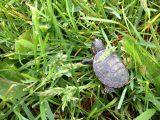 anakan-kura-kura-brazil