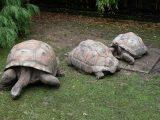 budidaya-kura-kura-darat