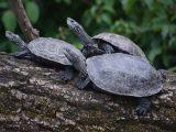 cara-melestarikan-kura-kura