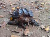 cara-memandikan-kura-kura-ast