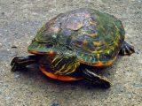 cara-mengobati-kura-kura-mencret