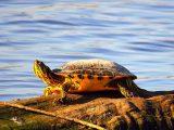 cara-menjemur-kura-kura