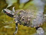 cara-menjinakkan-kura-kura-brazil