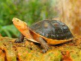 cara-merawat-kura-kura-china