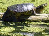 cara-merawat-kura-kura-cst