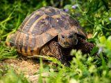 cara-merawat-kura-kura-hermani