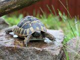 ciri-ciri-kura-kura-keracunan