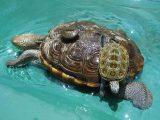 contoh-makanan-kura-kura-dbt