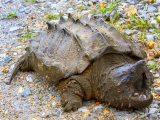 ekor-kura-kura-terputus