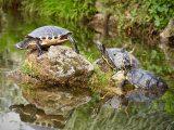 gabungkan-berbagai-jenis-kura-kura