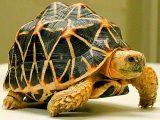 indian-star-tortoise-walk-picsay