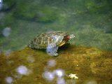 jenis-kelamin-kura-kura-brazil
