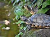 kaki-kura-kura-pincang