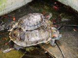 kandang-kura-kura-brazil-yang-ideal