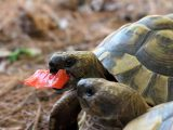 kasih-makan-kura-kura-darat