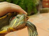 kesalahan-merawat-kura-kura-brazil