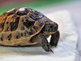 kotoran-kura-kura-berwarna-putih