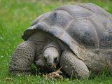 kura-kura-aldabra