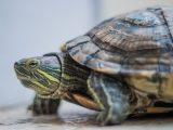 kura-kura-brazil-tidak-nafsu-makan