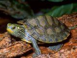 kura-kura-cepat-besar
