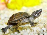 kura-kura-common-musk