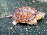 kura-kura-cst-mudah-dipelihara