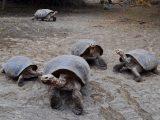 kura-kura-galapagos-aldabra