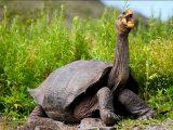 kura-kura-galapagos-terbesar-di-dunia