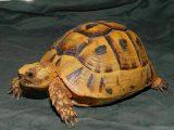 kura-kura-golden-greek