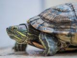 kura-kura-kekurangan-vitamin