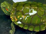 kura-kura-makan-sayuran