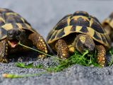 kura-kura-rakus-makan
