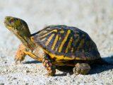 leher-kura-kura-bengkak
