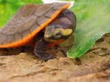 makanan-kura-kura-dada-merah