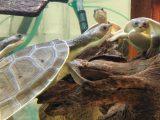 makanan-kura-kura-dada-putih
