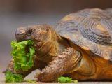 makanan-kura-kura-darat