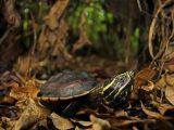 makanan-kura-kura-mse