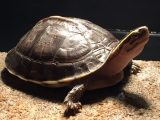 makanan-kura-kura-padi