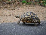 makanan-kura-kura-pardalis