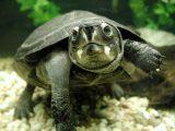 makanan-kura-kura-piput