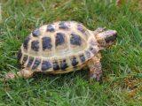 makanan-kura-kura-rusia