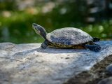 makanan-kura-kura-sawah