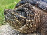 makanan-kura-kura-snapping
