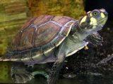makanan-kura-kura-unifilis