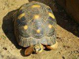makanan-kura-kura-yellow-footed