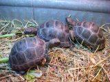 memandikan-kura-kura-aldabra