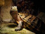 membawa-kura-kura-bepergian