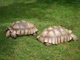 membedakan-kura-kura-sulcata