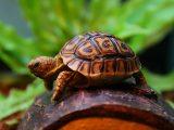 membeli-kura-kura-secara-online